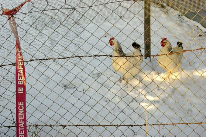poules sussex. photo michel ducruet