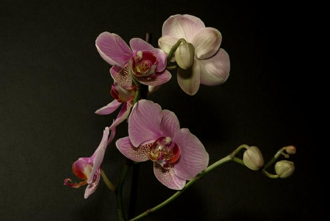 branche d'orchidee. photo michel ducruet