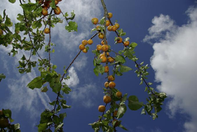 abricots sur l'arbre. photo michel ducruet