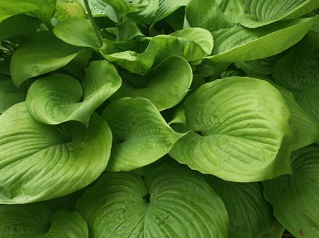plante de jardin. hostas. photo michel ducruet.